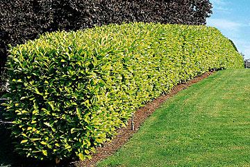 It bitkileri abelia i ek ilik serac l k peyzaj ltd ti for Siepe di lauro
